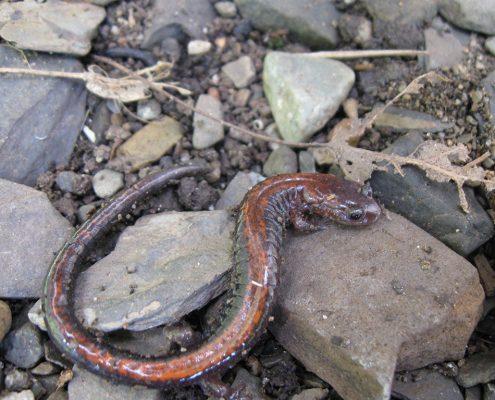 Salamandre cendrée