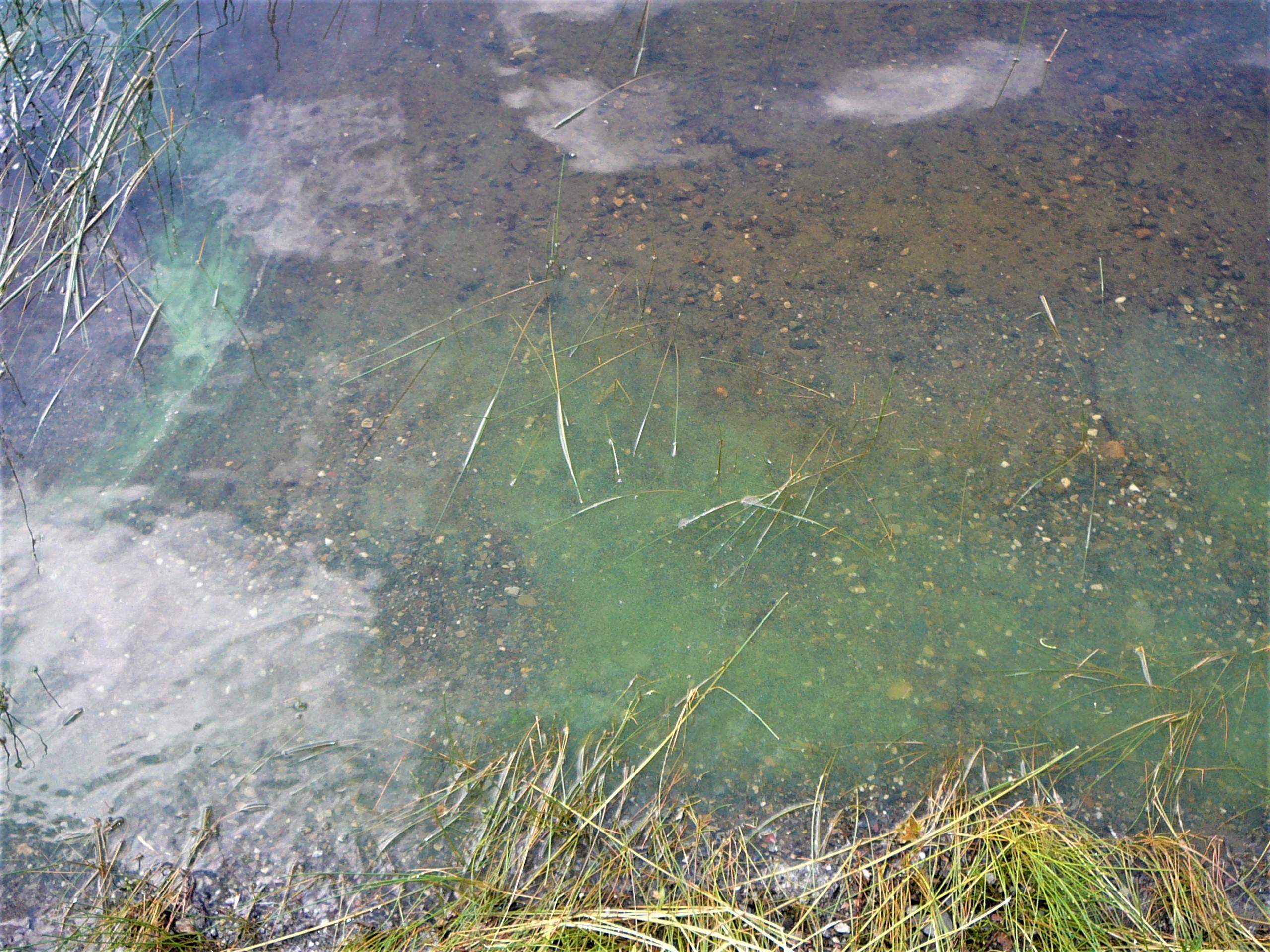 Cyanobactéries